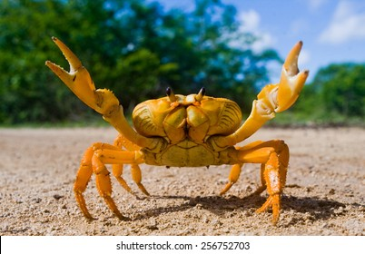 Yellow land crab. Cuba.