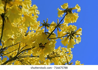 Yellow lapacho or yellow Ipe, tree of the Tabebuia genus, originating in South America and flower symbol of Brazil