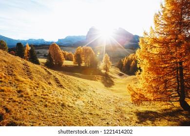 Yellow larches in the sunlight. Location Dolomiti, Compaccio village, Seiser Alm (Alpe di Siusi), Province of Bolzano - South Tyrol, Italy, Europe. Scenic image of idyllic autumn day. Beauty of earth.