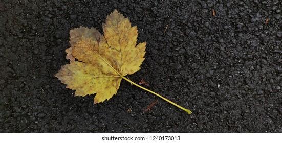 Yellow leaf against black asphalt.