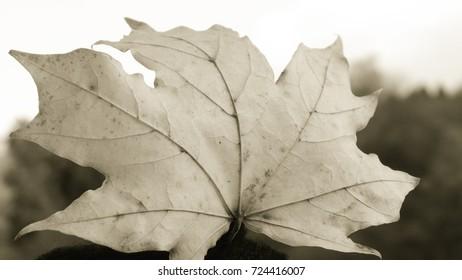 Yellow leaf in grey tone