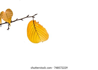 It is Yellow leaf isolated on white. four leaves in the shape of a heart.