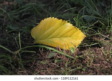 A yellow leaf lies on the ground near the green grass.