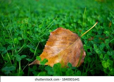 Yellow leaf on green clover field. Fall, autumn close up.