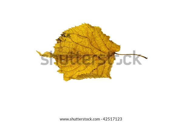 Yellow leaf of a poplar isolated on a white background
