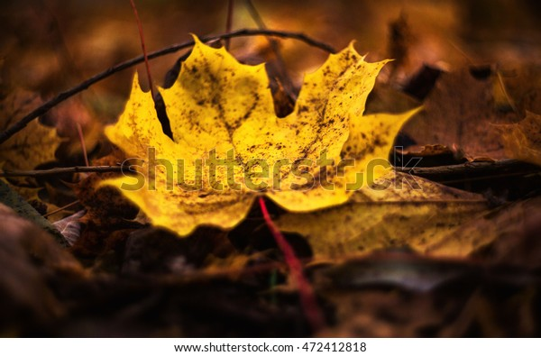 Yellow leaf from the tree. Leaves of a maple. Autumn symbolism. In the deciduous forest.