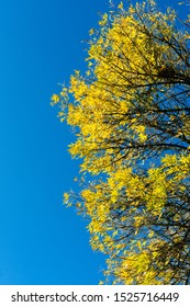 Yellow leafs on tree in autumn on blue sky