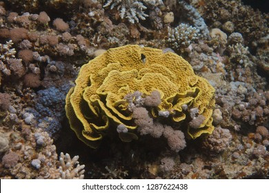 Yellow Leafy Cup Coral on Coral Reef in Red Sea off Dahab, Egypt