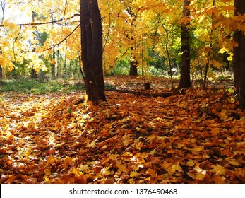 Yellow leaves in autumn in Sunny weather.