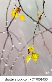 yellow leaves of the birch tree with drops from the autumn rain