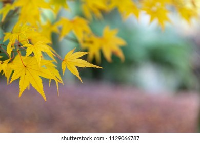 Yellow leaves with blurry background in autumn / fall