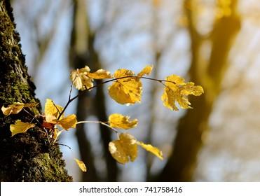 Yellow Leaves Branch Autumn Tree Seasonal Sunlight Fall Season