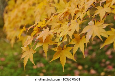 Yellow leaves change colour autumn season beautiful Landscape garden, Nature in Japan