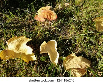 Yellow leaves fallen on the grass.