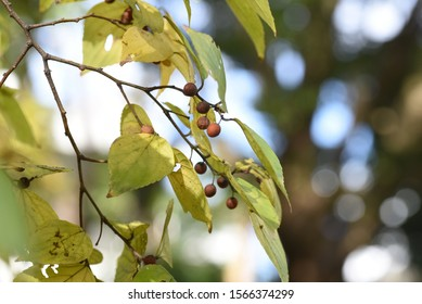 Yellow leaves and fruits of Hackberry (Nettle tree) / Hackberry (Nettle tree) blooms small flowers at the base of leaves in spring and attaches small spherical edible sweet fruits in autumn.