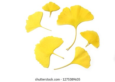 yellow leaves of ginkgo biloba isolated on white background