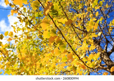 Yellow leaves of ginkgo at kumamoto, japan