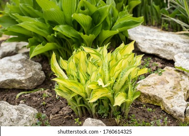 Yellow Leaves With Green Edges Of Hosta Plant (Gold Standard) With Decorative Stones Grow In Flowerbed Outdoors In Spring.