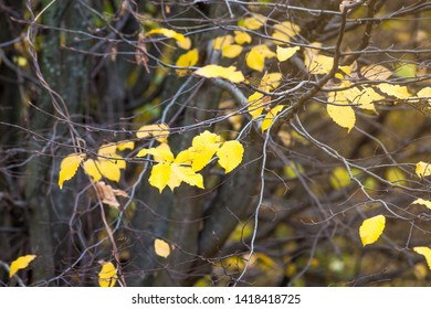 Yellow leaves of hornbeam on a tree in the autumn forest