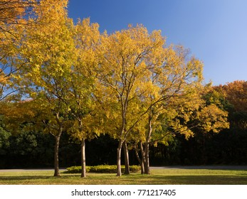 The yellow leaves of Mizumoto Park in Tokyo