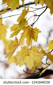 Yellow leaves on beautiful maple tree.