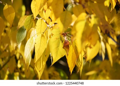Yellow leaves on beautiful tree on a sunny day.