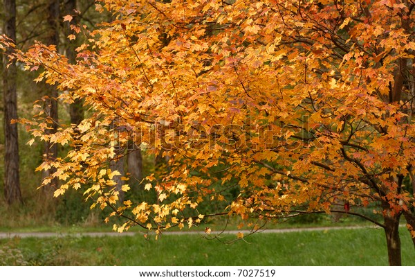 Yellow leaves on a tree in an autumn setting showing fall colors