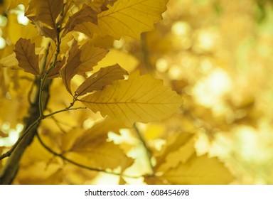 Yellow leaves on a tree, Fall season