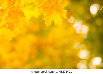 Yellow leaves on a tree. Yellow maple leaves on a blurred background. Golden leaves in autumn park. Copy space