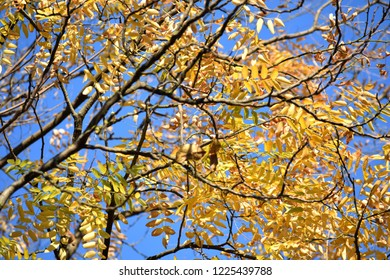 Yellow leaves on a walnut tree on a sunny day.