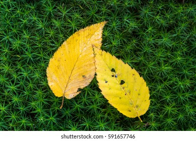 Yellow leaves resting on hair cap moss