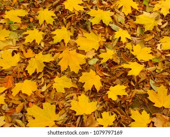 Yellow leaves scattered on the forest floor in northern Illinois