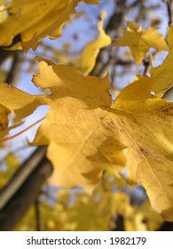 Yellow leaves in the sun