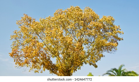 Yellow leaves of a tree with blue sky background photo