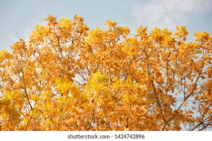 Yellow leaves of a tree with sky background photo