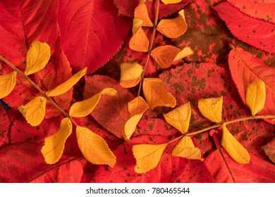 Yellow leaves of wild rose against the background of red leaves of chokeberry.