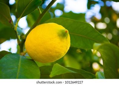 yellow lemon hanging on tree