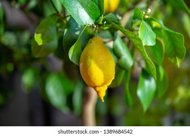 yellow lemon on tree with green leaves