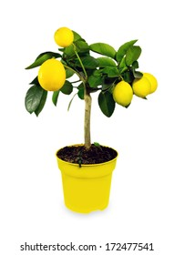 Yellow lemon tree in a pot isolated on white