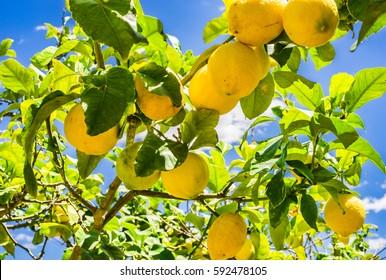 Yellow lemons hanging on lemon tree.