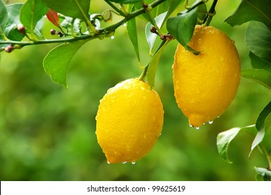 yellow lemons hanging on tree