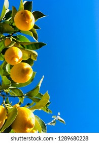 Yellow lemons on branches
