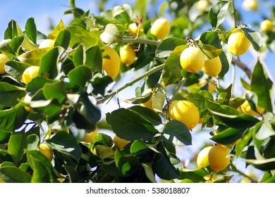 yellow lemons on lemon tree