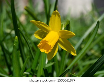 Yellow lent lily in meadow