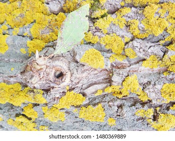 Yellow lichen on bark of tree. Tree trunk affected by lichen. Moss on tree branch. Textured wood surface with lichens colony. Fungus ecosystem on trees bark. Common orange lichen. Soft focus.