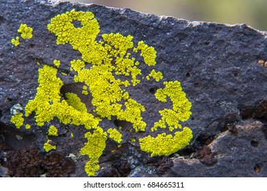 Yellow lichen on lava in Craters of the Moon National Monument & Preserve, Idaho, USA