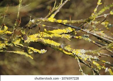 Yellow lichen in twigs