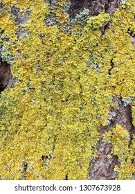 Yellow lichens on tree