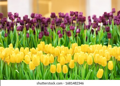 Yellow and lilac tulips on the bed of a florist shop. Flowers are grown in the ground. Greenhouse of flower business