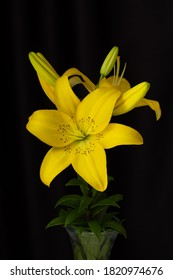 Yellow lilies close-up on a black background in a vase. Vertical composition in the complete filling of the frame. Photo in a low key. Isolated black background. A Studio photo.